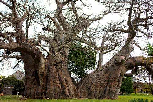 Activities Big Baobab Kremetart boom